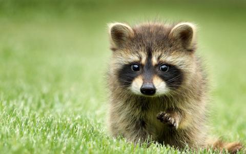 可爱的小浣熊