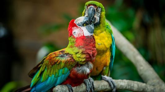 金刚鹦鹉接吻