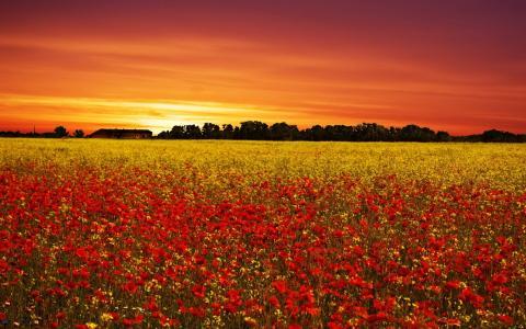 在罂粟的字段上的日落