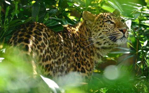 捷豹在丛林中
