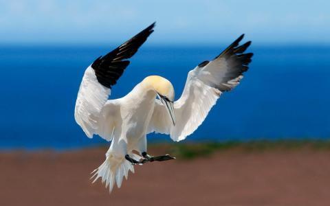 北方gannet