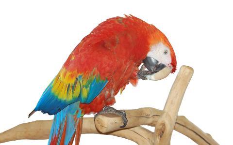 红金刚鹦鹉