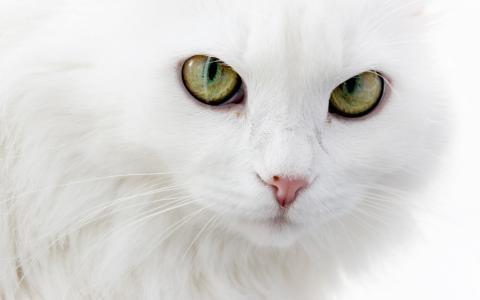 华丽的白色猫