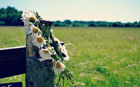 雏菊在篱笆上