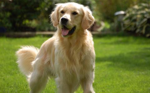 在领域的金毛猎犬