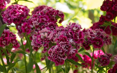 康乃馨花簇