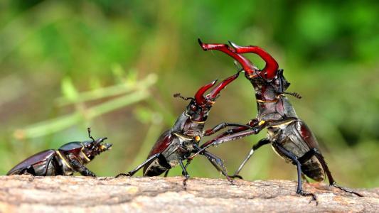 雄鹿甲虫战斗