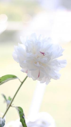 洁白迷人的芍药花