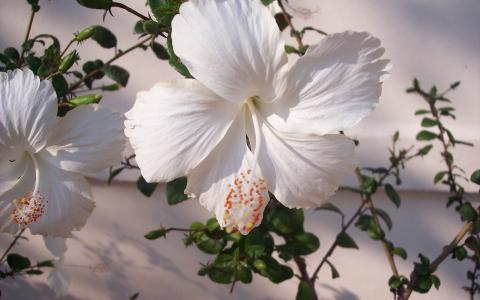 白色的芙蓉
