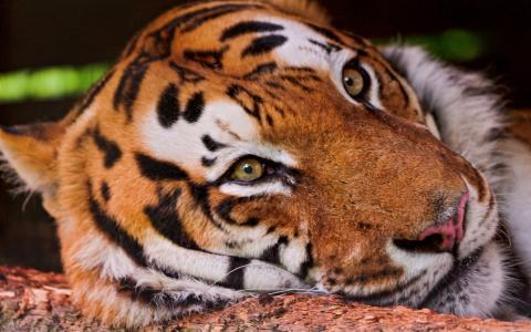 伤心的老虎